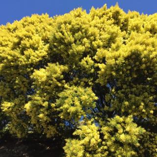 Bormes mimosas - 1